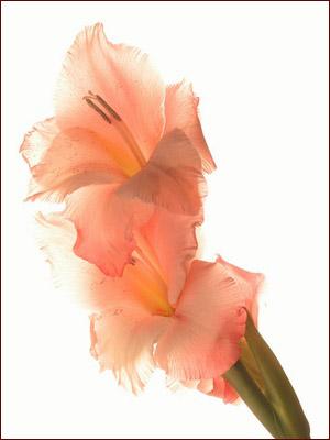 عکس گل گلایل